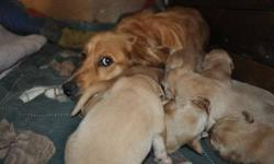 Golden Retriever-male and females available Nov. 18/ 2011 for loving homes. These loveable puppies have been around many cuddles and will enjoy a family that has time to spend with them. Both parents are social dogs and have become part of our family and