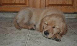 Beautiful, well- mannered MALE puppy. READY TO GO, to loving home. 1st shot and deworming done.
