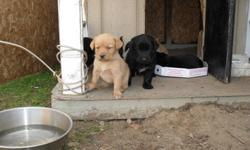4 golden and 3 black, ONLY 3 LEFT, 1 black and 2 golden, Mother is a black lab retriever and father a golden retriever. Very nice pups, looking for a very nice home! They will be ready at 8 weeks old. Call 519-246-6462 Strathroy