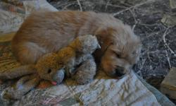 Adorable Golden Retriever puppies that will be a wonderful part of your family. These lovely puppies have been cuddled and played with since birth. Both parents are here for viewing. They will be available to join a loving family in mid- Nov.