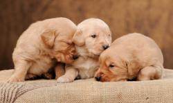 Beautiful Golden Retriever puppies. Mother is family pet with a great temperament. Puppies are family raised. Vet checked, first shots, and de-worming included.