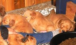 Four sweet males all a beautiful caramel colour are ready as of this weekend for thier forever homes.  Our puppies are raised in our home with our family on acreage.  We do not register our goldens but we do take care to ensure that the parents are free
