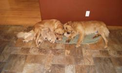 We have nine beautiful golden retriever puppies which were born on November 11, 4 females still available. Both the mother and father are our dogs and they are wonderful.  Puppies will come with vet check and first shots/deworming, and they will also be