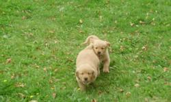 We have Five golden retriever pups left, One girl, Four boys that must have a good home, must go ASAP so please call and make an offer. The mother and father are on site for viewing. We are willing to deliver, they are ready for their new homes now.    We