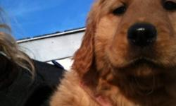 Beautiful golden retriever pups, ready to go immediately 3 dark females and only 1 golden male left Great family dogs, used to children and other dogs Pups have first shots and are dewormed and vet checked Pups come with vet records, collar, & some dog