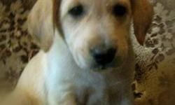 Beautiful golden retriever crossed with lab/shepherd. These puppies are happy,well socialized and were raised in a family setting. They are dewormed and we have both male and female here. They will mature to a meduim size (aprrox 65 lbs) If you are