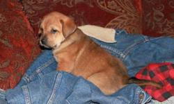 Adorable puppies to good homes.  Mother is purebred golden retriever, father is purebred Boxer.  Very sweet and friendly. They have been vet checked, have their first shots, and are on dry food and water.  E-mail or call Carrie at 780-832-0686.