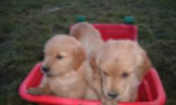 Our golden revtriver dogs Penny and Rex have another litter of pupys , there are three males left , they are vet checked , first shots and dewowermed , they are eating now for three weeks , every playful pups and like playing with kids,come and take your