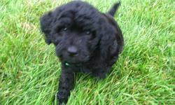 Gorgeous little black puppy, extemely intelligent and affectionate. Purchased from a reputable, registered breeder.  Both parents are CKC registered. Great disposition, excellent with children.  First set of shots have been administered.