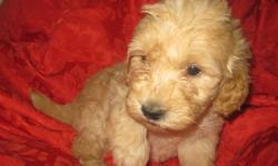 Goldendoodle & Multi generation Labradoodle puppies available. Non-shedding & non-allergenic petite, mini & medium doodles. 4 year health warantee. Mini Goldendoodles ready to go for the holidays, peties ready to go in January and medium multigeneration
