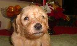 Golden Doodle's are excellent family pets.  Easy to train.  Hypo-allergenic.  Parents on site.  Hand-raised and well socialized.  Vet checked, vaccinated, dewormed and a 2 year health guarantee.  Will be ready for Christmas.  License#0095. For more