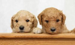 Christmas babies expected!  Make a promise of a puppy for Christmas, to be adopted on Valentine's Day.  Dad (Jordie) is a Mini Poodle and Mom (Skaggit) is a Standard  Goldendoodle so we expect the pups to mature to  mid-sized dogs (40 lb. range).  We are