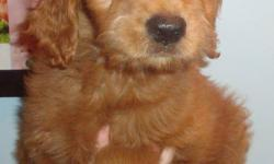Goldendoodles make great family pets and are easy to train.  Low-none shedding & hypo-allergenic.  Vet checked, vaccinated, dewormed and a 2 year health guarantee.  Parents on site.  Mother is C.K.C. Golden Retriever and father is A.K.C. standard