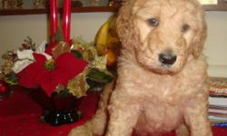 Great family pets & easy to train.  Parents on site.  Mother is A.K.C. Golden Retriever and father is A.K.C. standard apricot/red poodle.  Excellent pets.  Golden Doodles are hypo-allergenic.  Shedding is close to none. All are hand-raised.  Will be ready