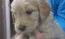 Hi we have goldendoodle pups that are5 weeks old , mom is a pure goldendoodle and the dad is a pure retriever. very cute pups. there is 4 left out of a liter of 7,