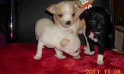 3 chihuahua for sale born a month ago and still have another 3 weeks to go before they can become one of your family members but this would be a great Christmas presents for your wife kids etc. if you would like to give a great present contact me ! :)