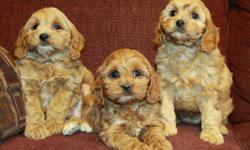 Only 1 female left! Absolute heart-melting cockapoo puppies now available! If you ever wanted a little teddy bear to follow you around and show you unconditional love, this is it! They are super sweet and loving little puppies. They are half cocker