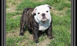 Gorgeous Champion Sired English Bulldog Puppies available   Puppies are CKC (Canadian Kennel Club) Reg'd, de-wormed, vaccinated, micro-chipped, vet checked twice with a 1 year written guarantee.   Puppies are well socialized and will our leave our loving
