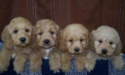 Puppies Mom is a buff colored Cocker Spaniel,Dad is a red toy poodle. There are three males  - the puppies on the left, the one female is the puppy on the far right. They will mature to 11-12 inches and 16-20 lbs. These puppies are  NON SHEDDING snd would