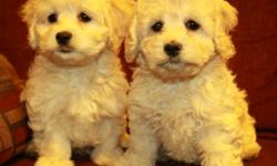 Super sweet cockapoo puppies now available! They are very cute and loving little puppies. They are half cocker spaniel and half poodle. They have light cream colouring and light wavy to curly hair. We have only 3 females left from 7!! Born December 8,