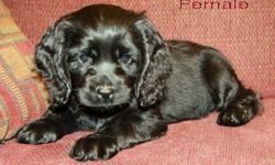 Absolutely GORGEOUS cocker spaniel puppies are now available! These are registered purebreds, paperwork provided. We have 1 beautiful black female left. They are super social and very friendly! They are very loving and cuddly, great with kids and other