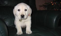 This is a gorgeous male English White Labrador Retriever Puppy for sale. He is CKC registered and his parents both have OFA approved hips/elbows. Also, they have certified eyes. This puppy comes with a two year health guarantee and is kennel trained. He
