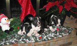 This is a litter of 1 male and 4 females. Dad is a French Bulldog and Mom is a Boston Terrier. These puppies will grow to a weight of approx. 25 pounds. They are very cute, happy and affectionate puppies that just love being with people and other pets.