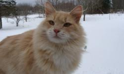 Peach is a Wonderful , Very Fluffy Cat.Needs a Home..I have several cats and They already have my attention. This cat is Very Loyal and sweet...very friendly!Will make great companion