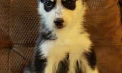 Stunning purebred husky puppies coming available shortly! They were born on November 16 and will be allowed to go to their new homes at 8 weeks old on January 11. There are 3 males and 3 females available at this time. We have puppies with 2 blue eyes, 1