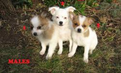 We have 5 gorgeous Pomeranian/ Chihuahua puppies: 3 males and 2 females born Oct.1. Dad is Pomeranian and Mom is Chihuahua and these puppies will grow to between 5-7 pounds. They are cute, funny and very playful and are excellent for family pets or