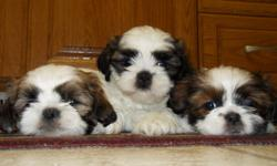 Beautiful purebread Shih Tzu puppies. Come see the difference!   Non-shedding and great for people with allergies.   The mother (pictured) is ~12 or 13lbs and has desired chocolate coloring. The father is a little bigger and is traditional tri-color.