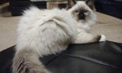 We have one very pretty and beautifully marked  seal point mitted purebred registered Ragdoll kitten available to great home. This boy is show quality.  He is healthy, affectionate and a real little buddy.  He wants to be where ever we are.  This is an