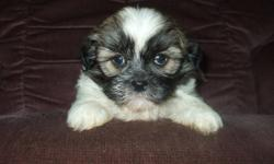 We have a beautiful new litter of happy and healthy SHIH TZU puppies now ready to meet their loving families.  These little ones are social and friendly, as well as being excellent with children and other household pets.  They have been vet checked