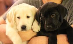 2 beautiful pure Labrador Retriever puppies left! 7 weeks old.   One white (very very pale yellow) male and one black female. Just $600! They have had their first vaccines, deworming, Advantage flea/tick protection, and vet check. They come with an