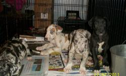 Litter of 4 Great Dane Puppies shots Dec 19....  3 boys 1 girl  1 fawnquin male- (one blue eye one green eye)  1 black/some white male-sold  1 blue merle male-sold  1 blue merle female Mother passed away due to birth complications .... hand raised babies