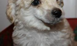 Male Pure bred Toy poodles. These babies are ready to go now.   Mom and Dad are both purebred toy poodles. These puppies are being home raised and in contact with kids and other dogs. Pee pad training in progress. They will go to their forever homes with