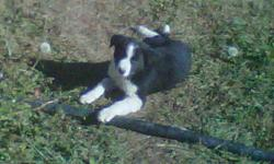 3 beautiful marked black &white pups. Farm raised with cattle, horses, cats and grandchildren.  Dad is pure Great Pyrenees and mom is 1/2 Great Pyrenees and 1/2 Border Collie.  The parents are working livestock protection dogs and good at their job. Pups