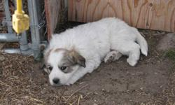We are taking deposits on our 9 Great Pyrenees puppies that are for sale. They are 6 weeks old and will be ready to go after 9 weeks, October 22. They will have their first shots and will be ready for their new homes.   They are socialized to a variety of