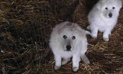 I am going to Edmonton, AB next week, i  can dilvered  on the way . Great Pyrenees puppies for sale. Pure white. Working parent with sheep, horse , cat. very friendly , good sheep dog. I been raising these dogs for 15 years.  i have the best Pyrenees for