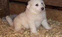 Only 1 girl left! These dogs are natural livestock guardians however they also make great farm dogs or pets. Parent dogs are full blood but not registered. Born Sept. 28.  They have their shots and are ready to adopt. 480.00 Galen Horst 613-758-9902