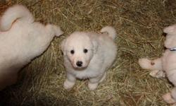 Pyreneese Pups for sale. Ready to go. I have 3 Great Pyreneese pups still for sale, both parents on our farm to view. 2- Females 1- Male All pups have been inspected by the vet. First shots and deworming have been done. Pups will be ready to go. Please
