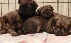 Griffonshire puppies, 3 males 1 female.  Very cute and peeing on paper already.  Sire Yorkie, 5 lbs.  Mom Brussels Griffon, 8 lbs.