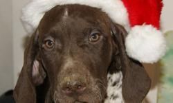 Looking for that special present for a special person? German Shorthaired Pointers are wonderful dogs. They are perfect gifts for hunters, children, or any other special person in your life. They are friendly, loyal, love to retrieve and are great with