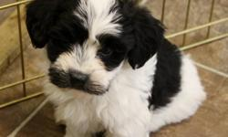 THESE PUPS ARE 8 WEEKS OLD. THEY ARE CKC REGISTERED. THEY HAVE HAD THEIR 1ST SHOTS, VET CHECK AND DEWORMING. THEY ARE MICROCHIPPED. THESE PUPS ARE PLAYFUL, CUDDLY AND VERY SOCIABLE. THEY ARE PAPER TRAINED AND USE A DOGGY DOOR. HAVANESE ARE NON-SHEDDING,
