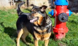 Suzie has found a new home now. Thank you for your interest. Suzie is a Roti-Chow cross with a tongue half-toned with the characteristic black of the Chow and with a soft shining black and tan coat as shown. Suzie is very affectionate with her owner and