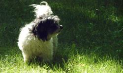 We are selling our Adult Male Havanese.  Polo is 6 years old, he is neutered, house trained and CKC Registered.  Polo is a really sweet affectionate guy.  He likes other dogs and cats and would make a great family pet or companion. Polo is up to date on
