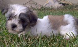 Non shedding - Beautiful little Havanese  puppies.  Not registered.   Have their shots, dewormed, health guaranteed and ready for a family to love.  Non shedding, non alergetic lovely little family pets.  Great with children and other pets.  Happy little