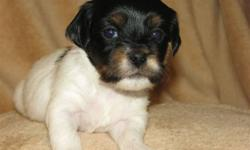 Havanese Puppies they are hypo-allergenic, wonderful pups who love affection, 2 females, 1 male, dewormed, vet checked, 1st shots, health guarantee.