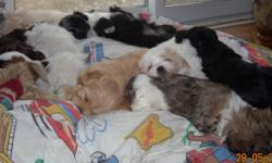 Just in time for Christmas we are offering a choice of Havanese crossed with a male Shitzu for $400 or purebred Havanese for a variety of prices. These pups are non shedding and hypoallergenic. There is a wide variety of colours available including the
