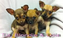 CHIHUAHUA PUPPIES 2 GIRLS REMAINING TIA AND LOLA ARE AVAILABLE APPLE HEAD CHIHUAHUA PUPPIES, WITH BEAUTIFUL MARKINGS. VET CHECKED. FIRST SHOTS AND DEWORMED. PEE PAD TRAINED EACH COMES WITH A PUPPY PACK INCLUDING A FREE BAG OF FOOD, FREE HEALTH INSURANCE